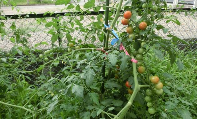 第2幼稚園の野菜が大きくなりました